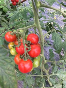 中玉トマトの写真です。